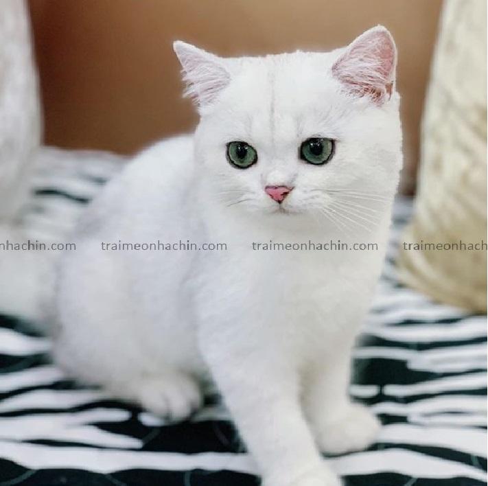 Shop bán mèo cảnh TPHCM - Mèo Nhà Chin