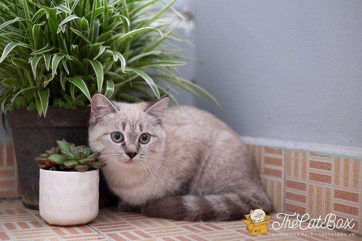 Shop bán mèo cảnh TPHCM - The Cat Box | Nguồn từ trang thecatbox.vn